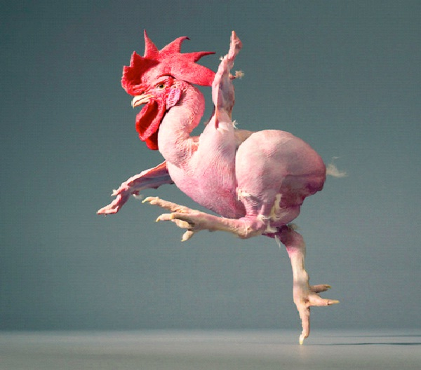 genetically modified chicken - photo #24